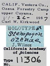 Image of Stenopogon ozenae