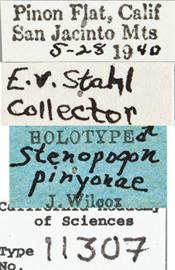 Image of Stenopogon pinyonae