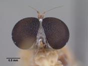 Leptopteromyia colombiae image