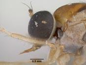 Leptopteromyia mexicanae image