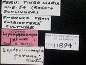 Image of Leptopteromyia peruae