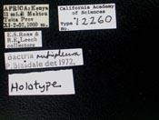 Image of Bactria rufipleura