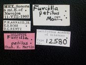 Image of Furcilla petila