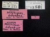 Image of Machimus adustus