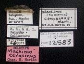 Image of Machimus cerasinus