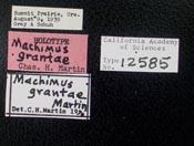 Image of Machimus grantae