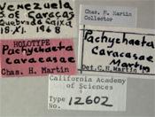 Image of Pachychoeta caracasae