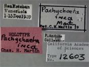 Image of Pachychoeta inca