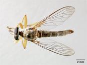 Image of Polacantha arcuata