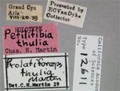 Image of Prolatiforceps thulia
