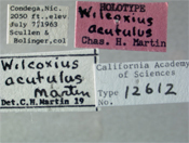 Image of Wilcoxius acutulus