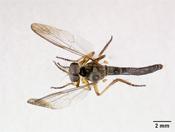 Image of Ommatius tuberculatus
