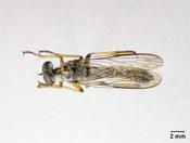 Image of Heligmoneura anamalaiensis