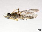 Image of Heligmoneura shimogaensis