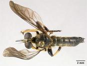Image of Laphria indica