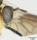 Laphria indica image
