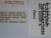 Laphria keralaensis image