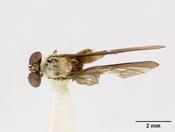 Image of Trigonomima anamaliensis