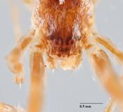 Uloborus crepidinis image