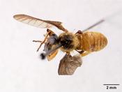 Image of Xenomyza rufoabdominalis