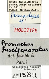 Image of Promachus fuscifemoratus