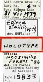 Image of Efferia neosimilis