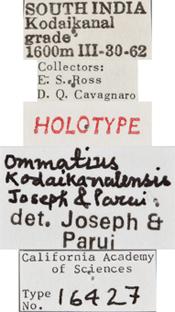 Image of Ommatius kodaikanalensis