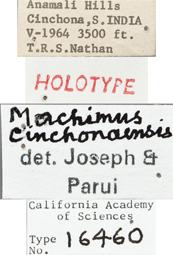 Image of Machimus cinchonaensis
