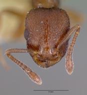 Leptothorax oxynodis image