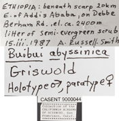Image of Buibui abyssinica