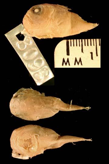 Lethotremus muticus image