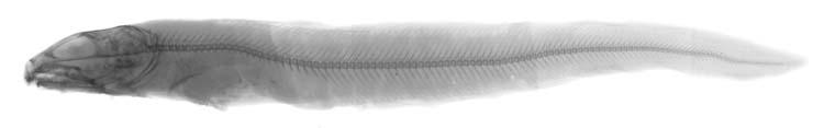 Lycodes palearis image