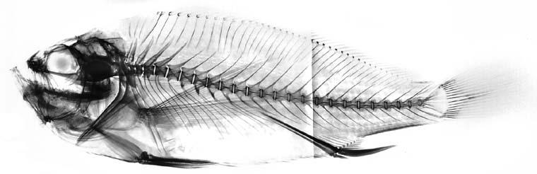 Larimus effulgens image