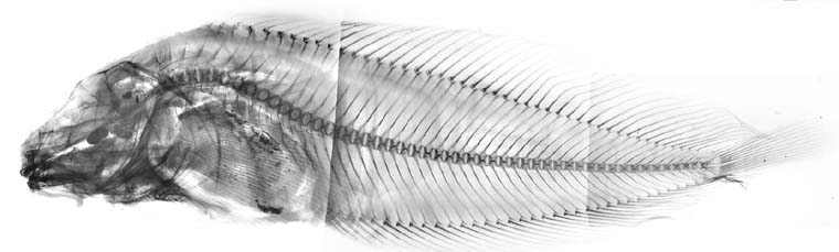 Liparis rhodosoma image