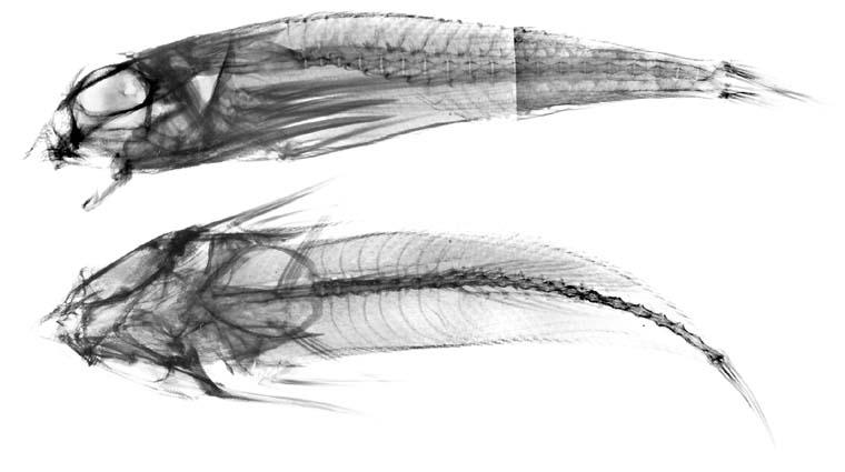 Dactyloptena tiltoni image