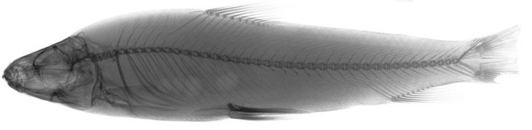 Leporinus y-ophorus image