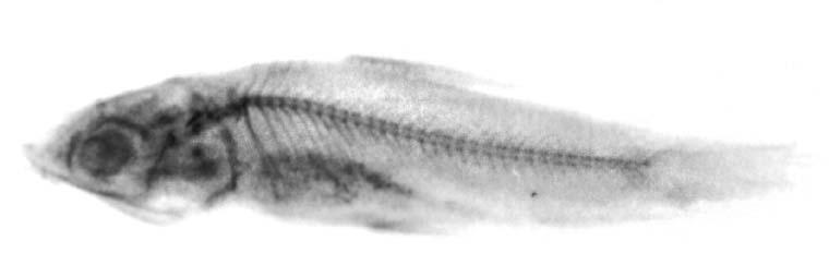 Laemolyta fasciata image