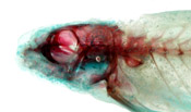 Serpenticobitis cingulata image