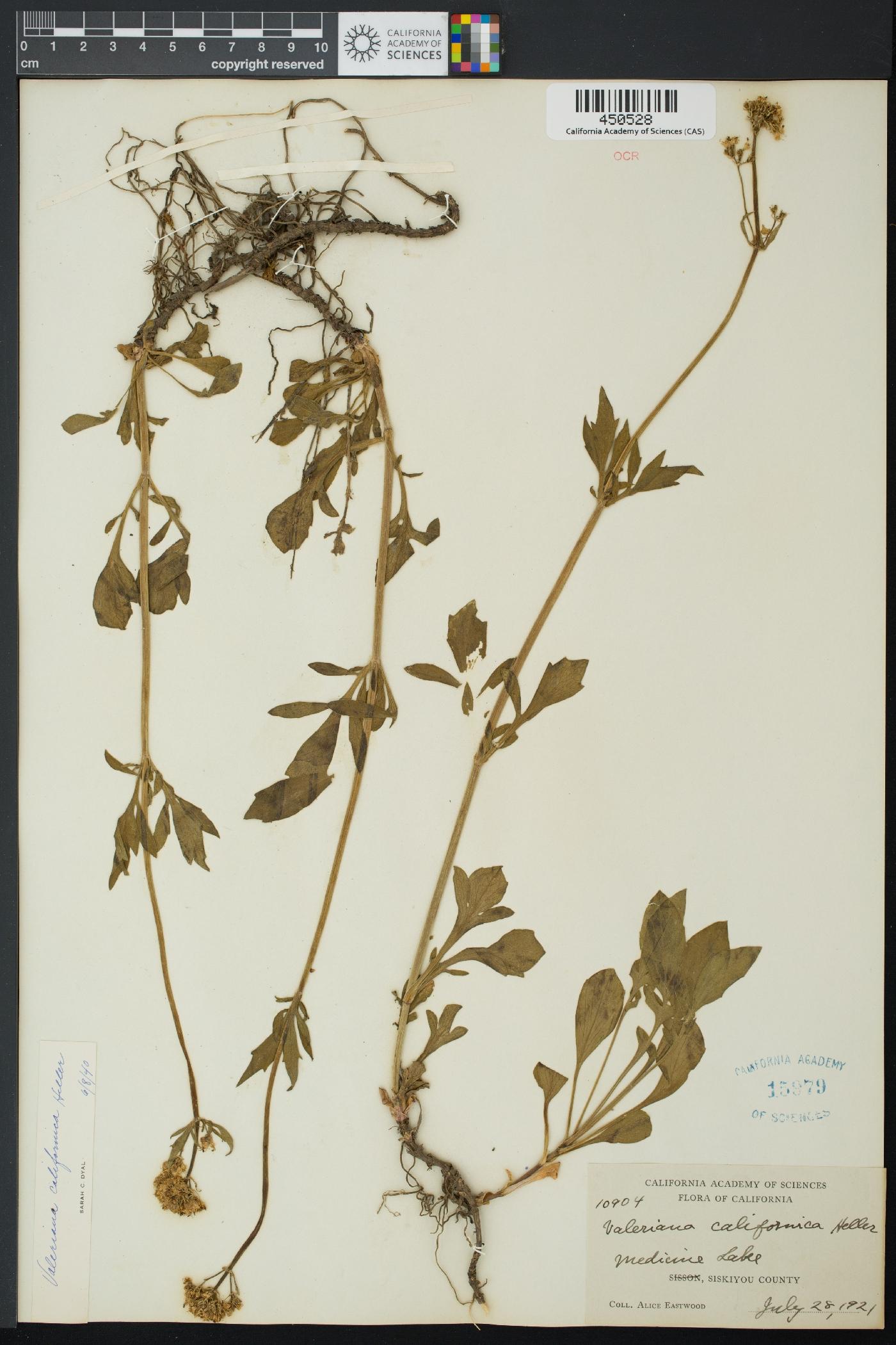 Valerianaceae image