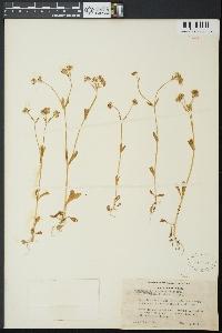 Valerianella carinata image