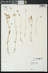 Image of Valerianella carinata