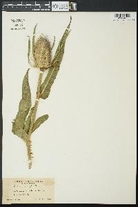 Dipsacus fullonum image