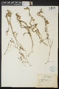 Image of Elodea canadensis