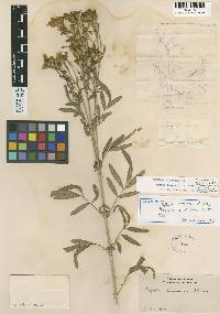 Image of Tagetes lemmonii
