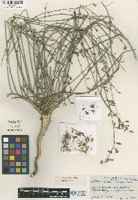 Image of Stephanomeria carotifera