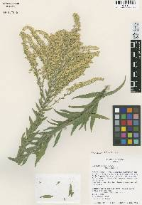 Image of Solidago juliae