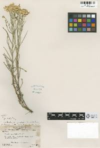 Image of Senecio spartioides