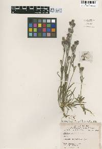 Lychnis gillettii image