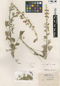 Lupinus paynei image