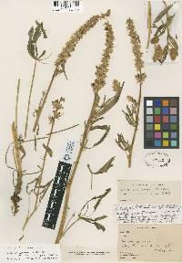 Lupinus pratensis var. eriostachyus image